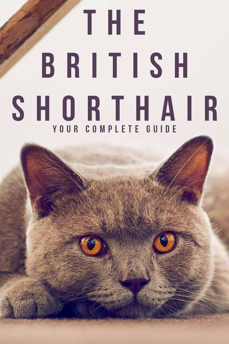 The-British-Shorthair